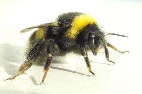 bumblebee_2007-04-19